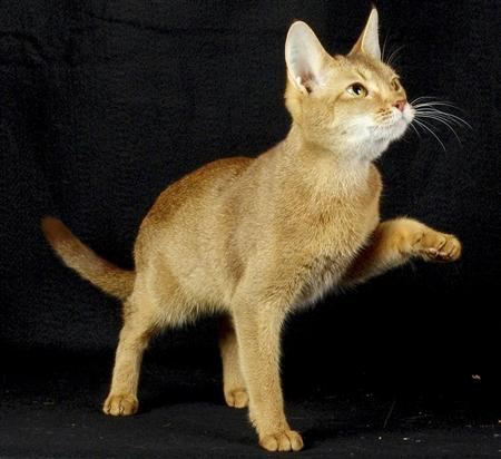Abyssinian Cat Diseases